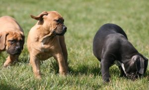 EXOTIC PUPPIES FOR SALE