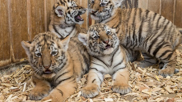 CAN I BUY A TIGER ONLINE