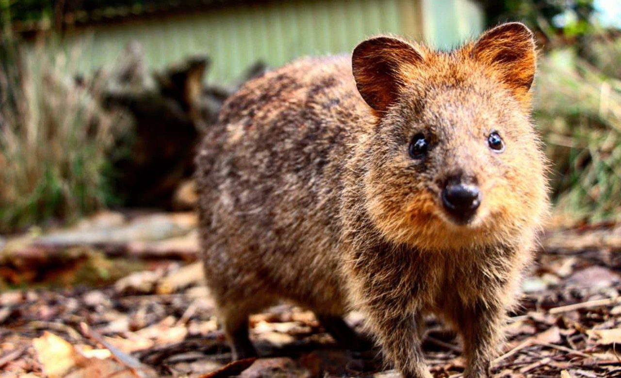 QUOKKAS FOR SALE