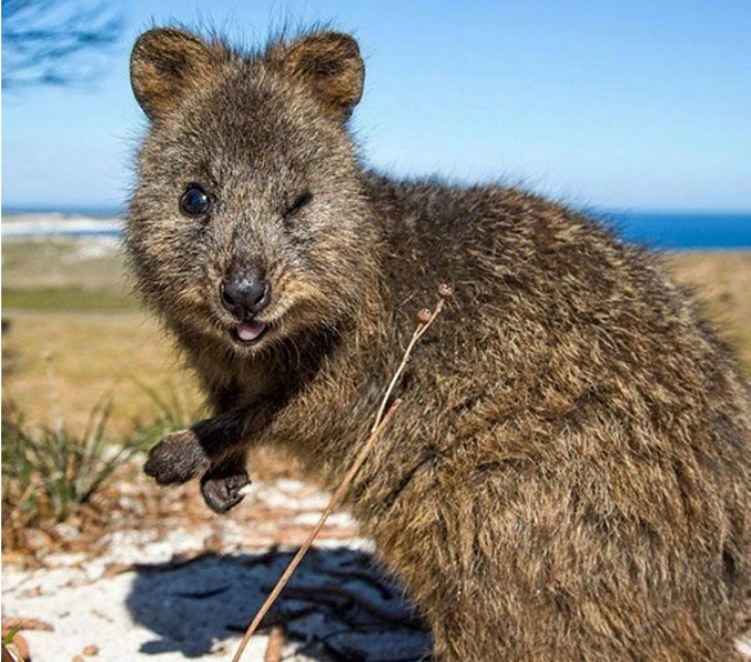QUOKKAS FOR SALE AS HOUSE PETS