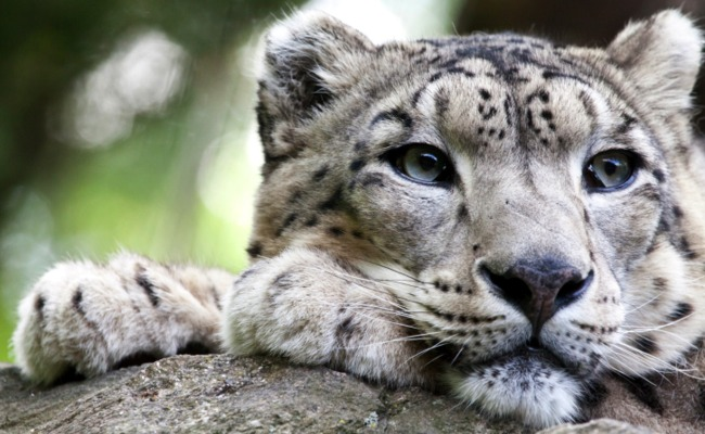 BUY A SNOW LEOPARD