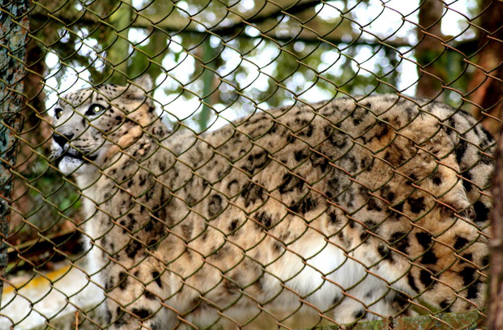 SNOW LEOPARD FOR SALE AVAILABLE ON MARKET