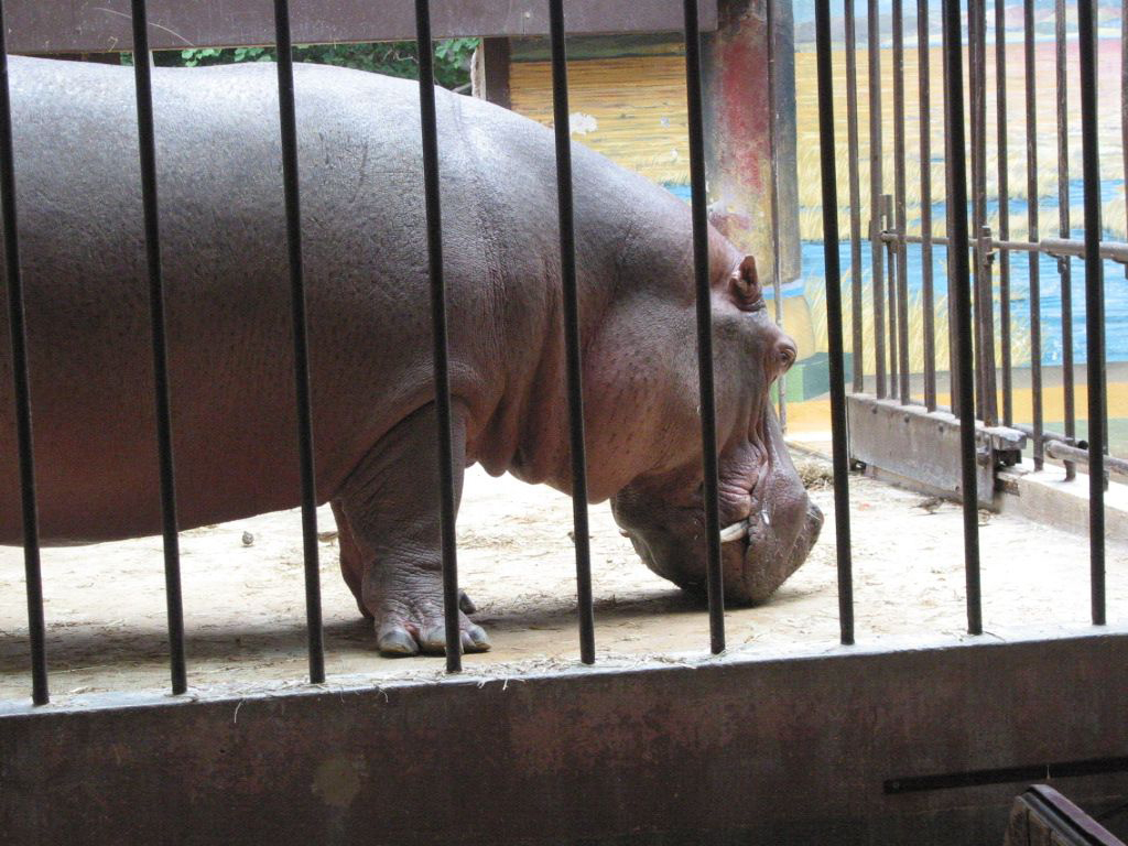 HIPPO FOR SALE