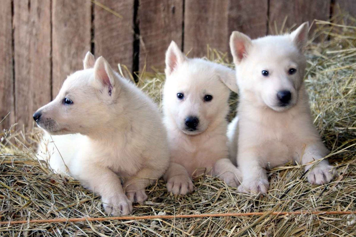 HEALTHY AND WELL TRAINED EXOTIC DOGS FOR SALE