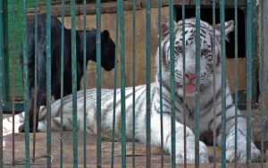 PET WHITE TIGER FOR SALE