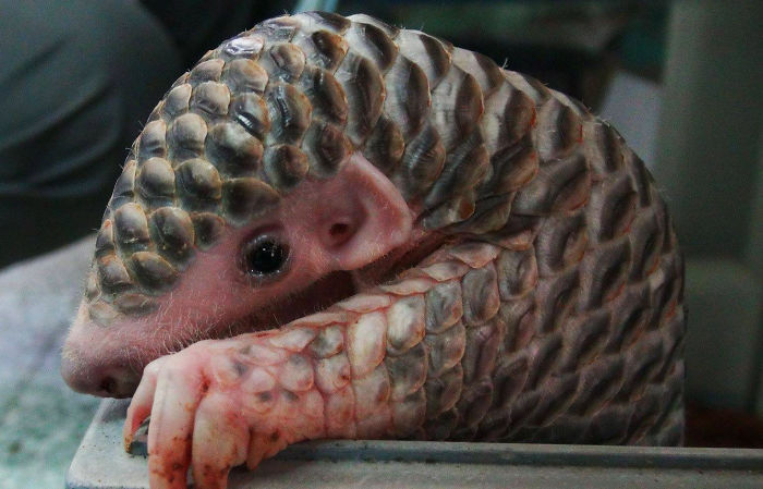 PANGOLIN FOR SALE USA
