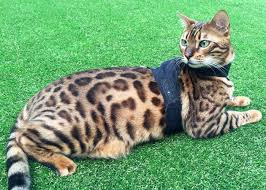 BENGAL CAT BREEDERS FIND ALL KINDS OF CATS ONLINE