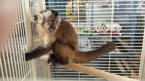 MINIATURE MONKEY PET FOR SALE