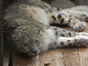 SNOW LEOPARD FOR SALE