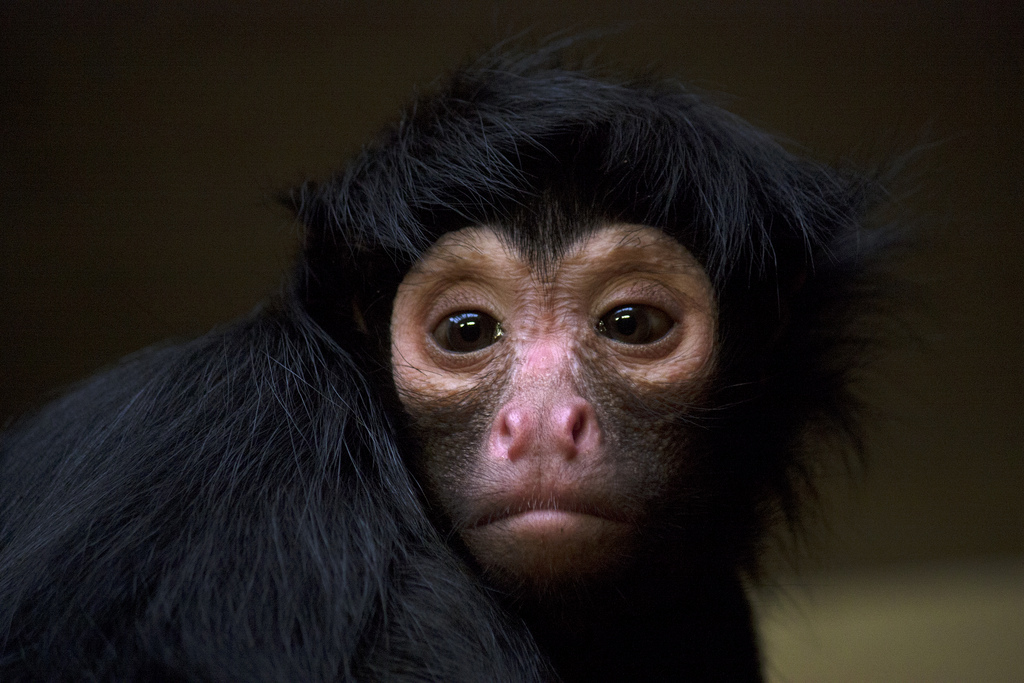 EXOTIC MONKEY FOR SALE ONLINE