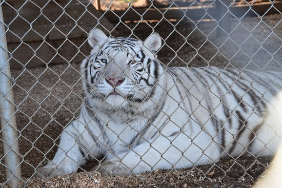 WELL TRAINED PET WHITE TIGER FOR SALE AT AFFORDABLE PRICES