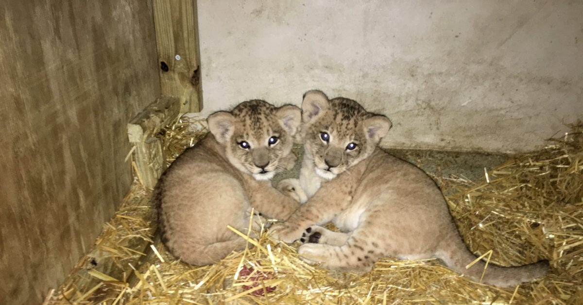 LION CUBS FOR SALE AT AFFORDABLE PRICES