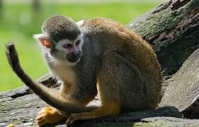 DOMESTIC MONKEYS FOR SALE
