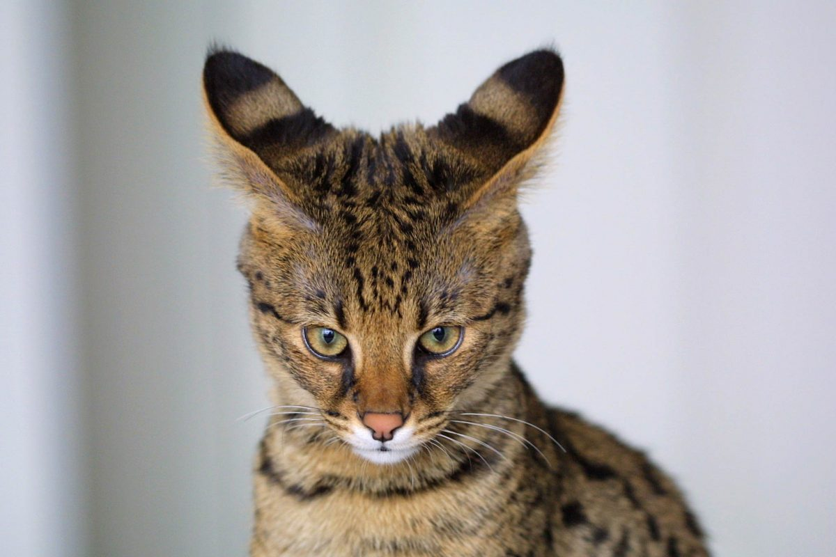 EXOTIC CATS FOR SALE ONLINE WITH DELIVERY SERVICES
