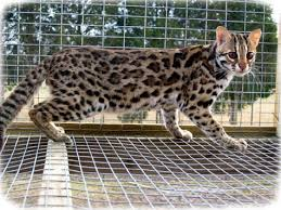 EXOTIC CATS FOR SALE ONLINE